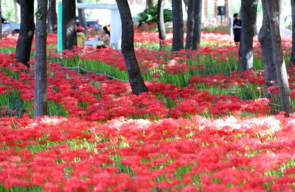 [Photo News] Lycoris radiata blooms beautifully for fall