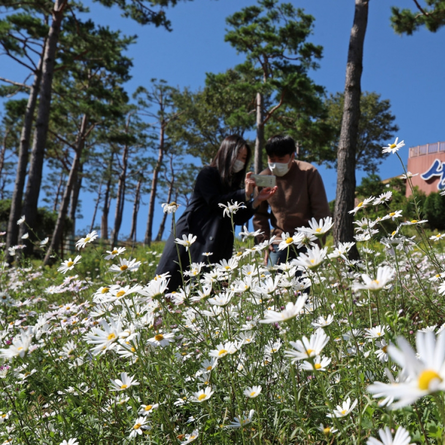 Korean daisies bloom in cool weather
