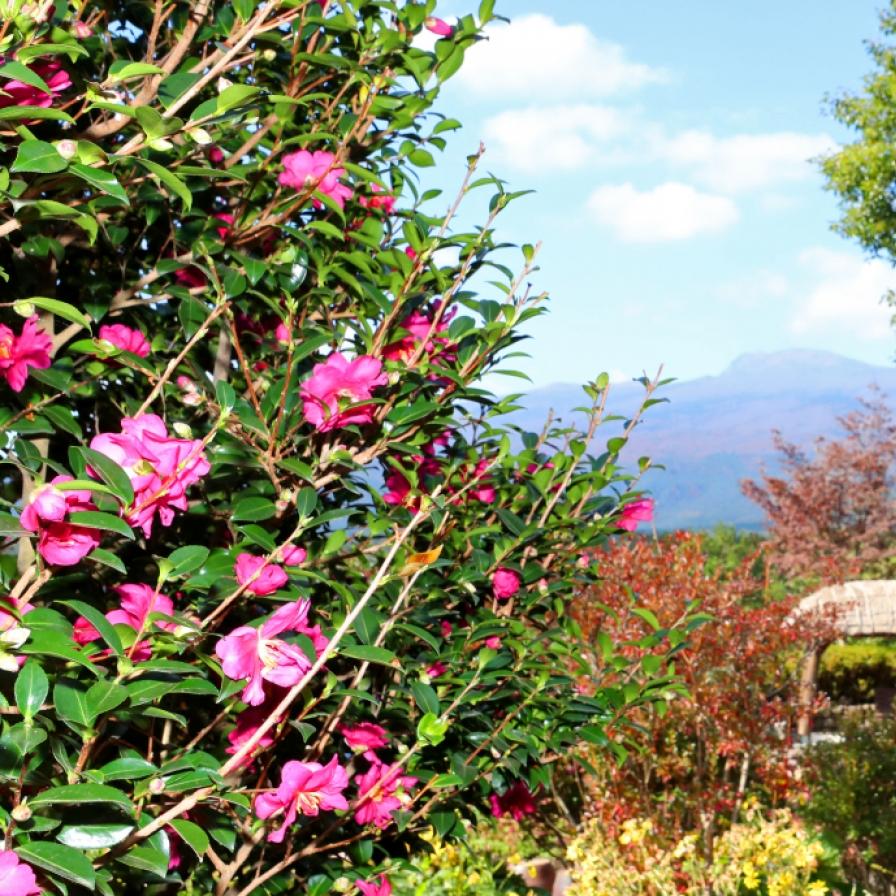 Camellia blossoms in the bleak season