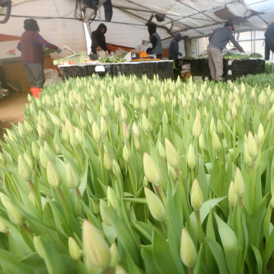 Tulips get ready for shipment as spring nears