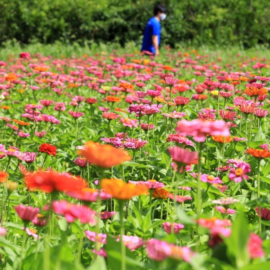 Zinnias bloom on Jeju Island