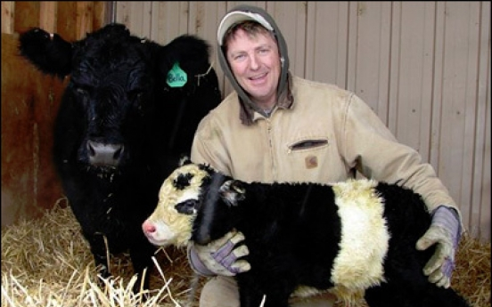 Rare 'panda cow' born in northern Colorado