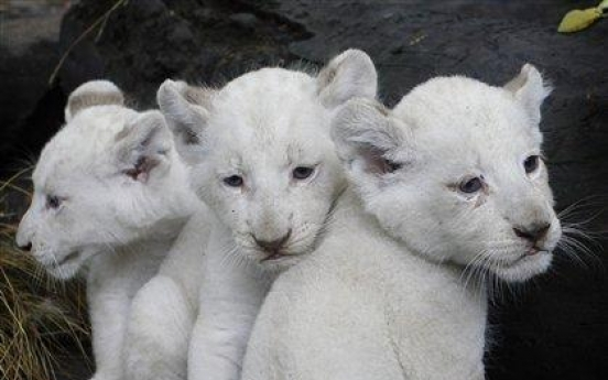 Cute! White lioness bears 3 cubs in Argentina