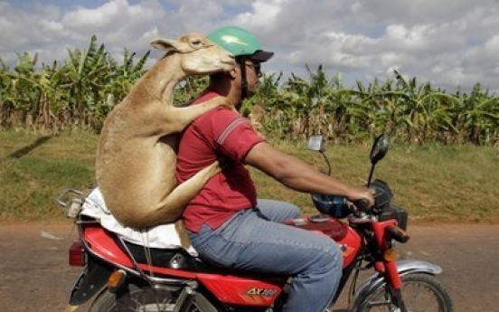 Man carries lamb on motorcycle