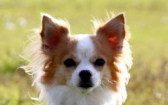 Stand back--I'm a (Chihuahua) police dog
