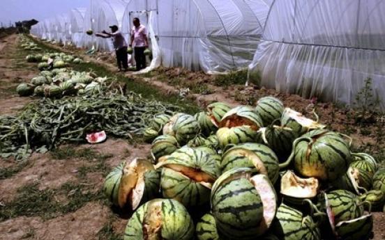 Fields of watermelon burst in China farm fiasco