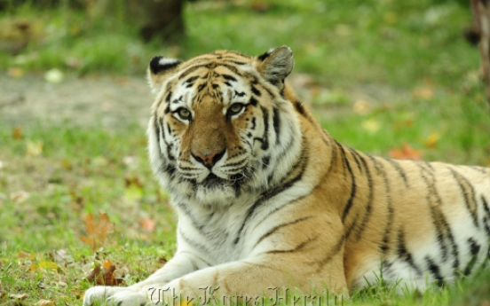 Siberian tigers may disappear in 20 years