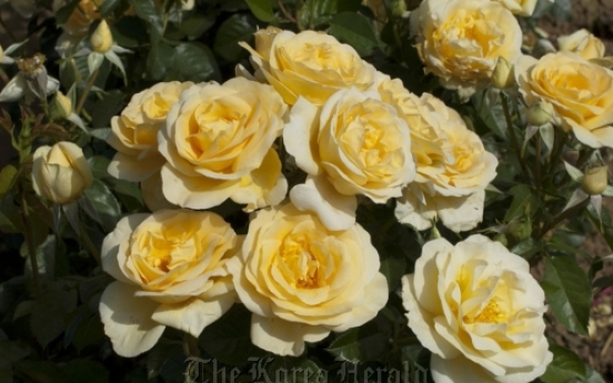 Sunshine Daydream, award-winning rose, featured in parade