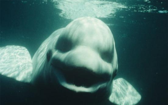 Study: Male beluga whale mimics human speech