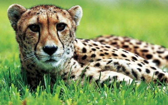 Cheetahs in race to survive