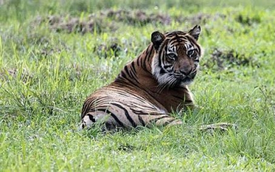 Releasing tigers a risky business