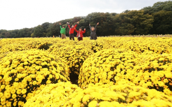 Chrysanthemum flower festivals in the offing