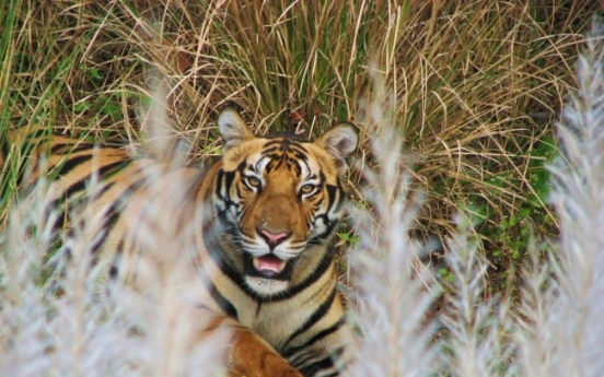 Wild tiger population on rise