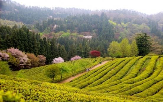 [Weekender] Tea fields in Boseong beckon with natural green splendors