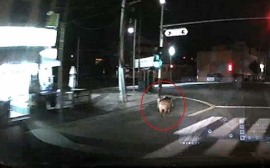 Hunt for a wild boar ongoing in Busan