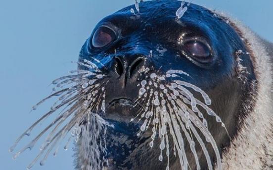 (사진) 꽁꽁 얼어붙은 바다표범 수염