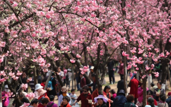 Cherry blossom most soothing among spring flowers: study