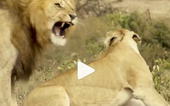 장인도 걷어차는 사자...'살벌한 쟁취'