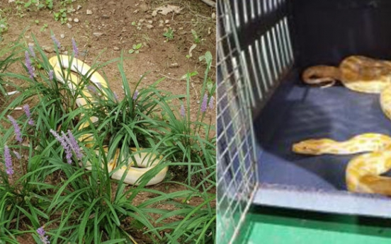 Stray pythons found in residential area