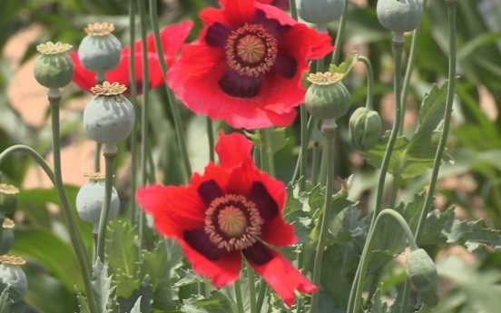 6 arrested for cultivating 1,306 opium poppies: Coast Guard