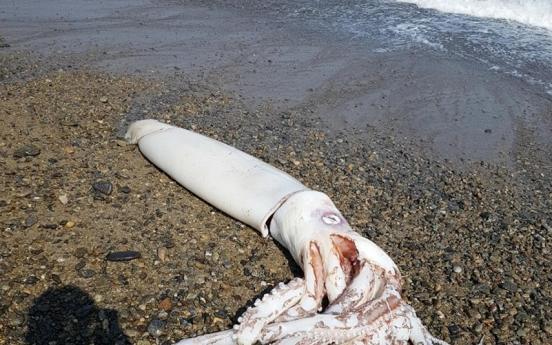 포항 바닷가서 길이 3m 대왕오징어 죽은 채 발견