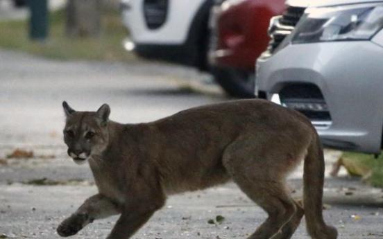 도심에 퓨마·여우 어슬렁…코로나19로 인적 줄자 야생동물 출몰