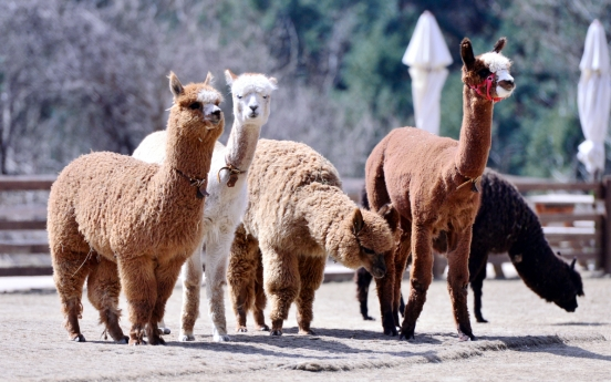 [Eye Plus] Befriend fluffy alpacas in Gangwon Province