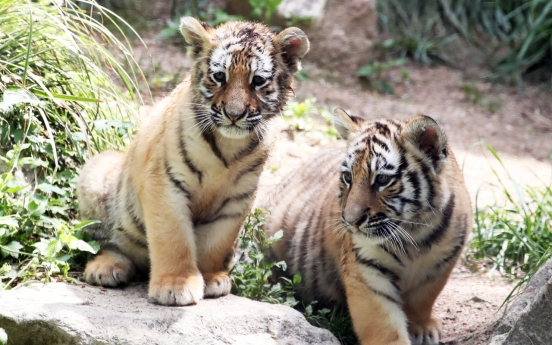 [Photo News] Tiger family at S. Korean amusement park