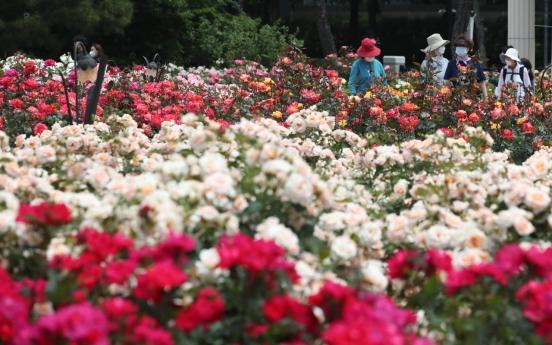 [Photo News] May roses bloom