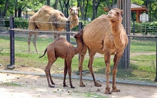 서울대공원에서 아기 낙타 '거봉' 탄생