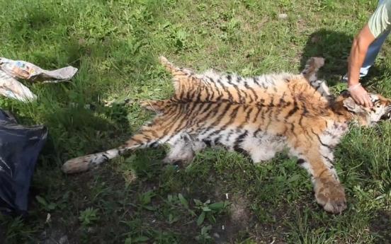 러시아서 멸종위기 백두산 호랑이 불법 사냥한 40대 체포