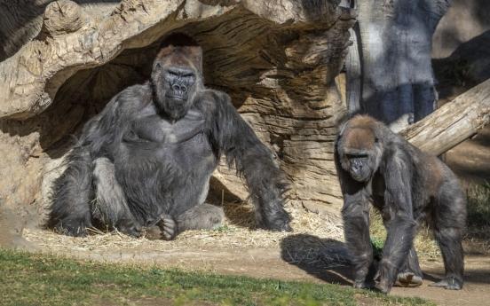 미 동물원서 고릴라 세 마리 코로나19 감염…