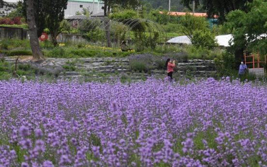 [Photo News] Lavender flowers paint Korea purple
