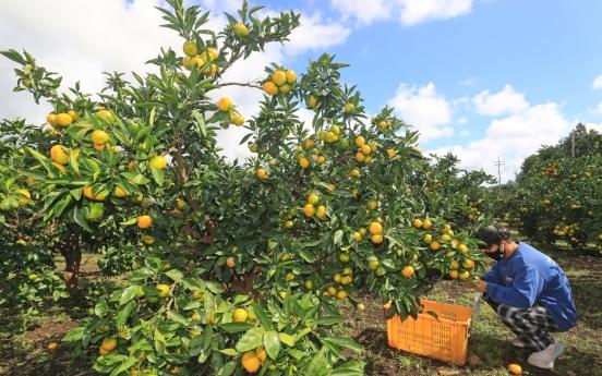 [Photo News] Harvesting tangerines on Jeju Island