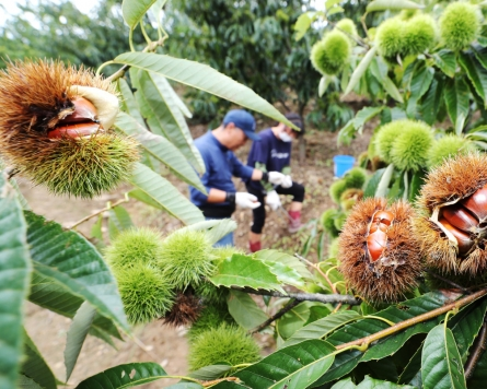 [Photo News] Chestnut picking in Gongju
