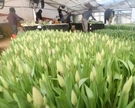 [Photo News] Tulips get ready for shipment as spring nears
