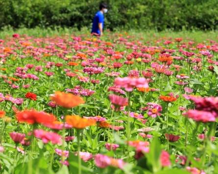 [Photo News] Zinnias bloom on Jeju Island