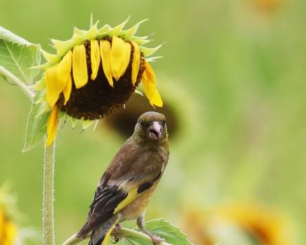 [Photo News] Goldfinch enjoys sunflower seeds amid summer heat