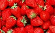 딸기, 겨울에 가장 맛있다…왜?