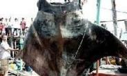 1300kg 초대형 '악마 가오리' 잡혔다