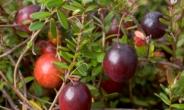 경작 환경도 독특한 크랜베리, 영양성분ㆍ다이어트 효능은?