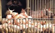 유산균 먹여 키운 돼지 잡내 없고, 부드럽고 오메가 3 함량도 높다