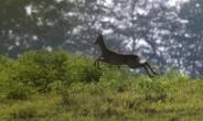 총맞고 죽은척?…60대 사냥꾼, 사슴 반격에 사망