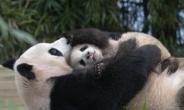 에버랜드 아기 판다 5개월만에 50배 폭풍 성장…4일부터 공개