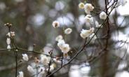 동지섣달 꽃 본다…제주 한림공원 매화 개화, 수선화·앵초도