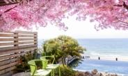 벚꽃 아래 해운대 바다보며 스파, 파라다이스 신박한 풍경