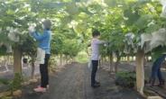 한국생활개선회 수원시연합회, 포도농가 일손 돕기