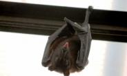 라오스 박쥐서 코로나19와 96.8% 일치하는 바이러스 발견
