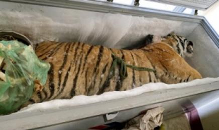 """'니가 왜 거기서 나와?""""…가정집 냉동고에서 발견된 '160㎏ 호랑이 사체'"""