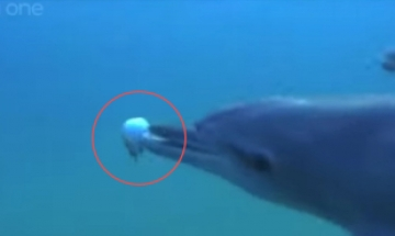 [영상] 착한 돌고래의 '반전'…복어로 환각 파티?